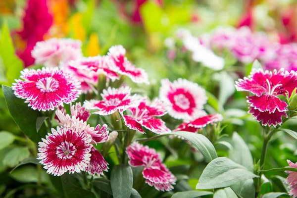 Гвоздики китайские многолетние фото цветов