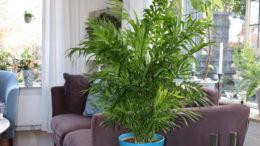 Хамедорея элеганс уход в домашних условиях фото в интерьере