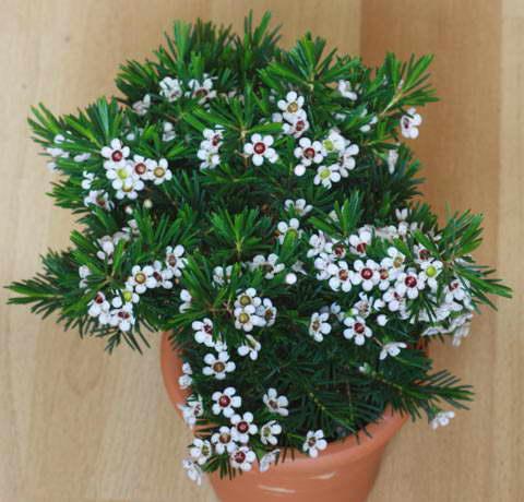 Хамелациум фото цветов в домашних условиях