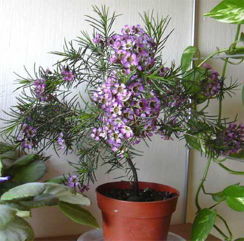 Хамелациум крючковатый Chamelaucium uncinatum уход в домашних условиях фото
