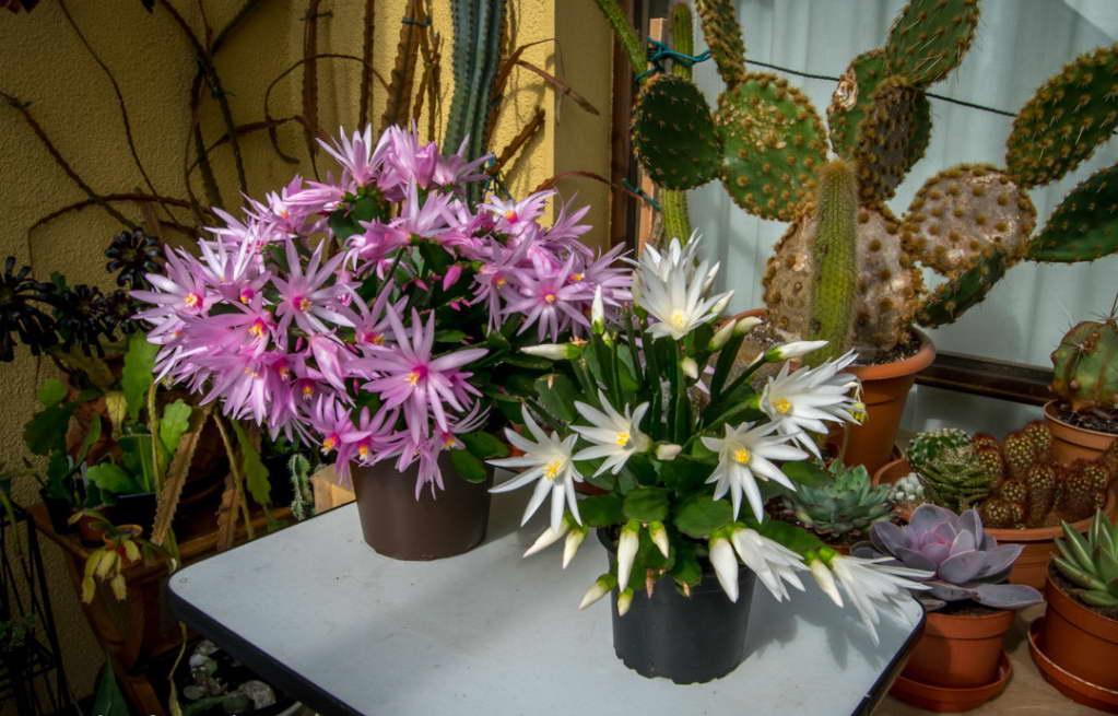 Хатиора Гартнера Rhipsalidopsis, Hatiora gaertneru, Rhipsalidopsis gaertneri фото