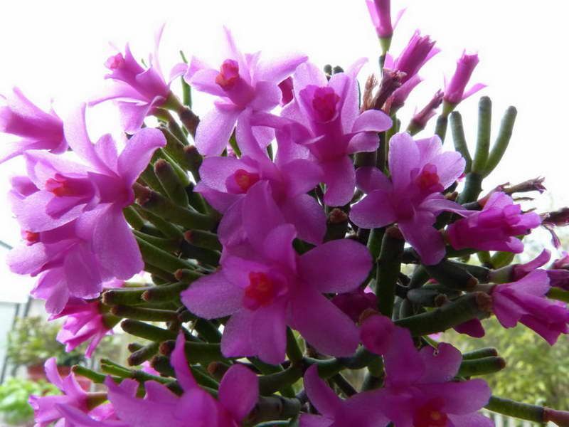 Хатиора Гермина Hatiora herminae фото цветов