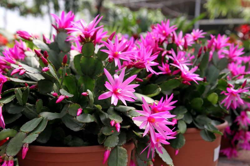 Хатиора комнатные растения Цветок хатиора уход в домашних условиях фото