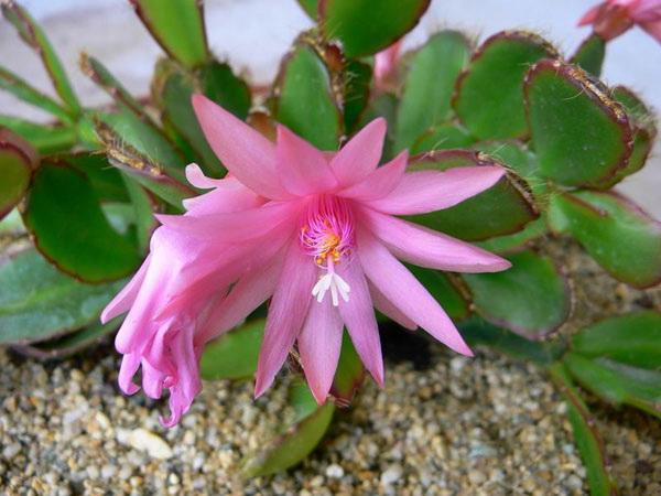 Хатиора розовая Hatiora rosea