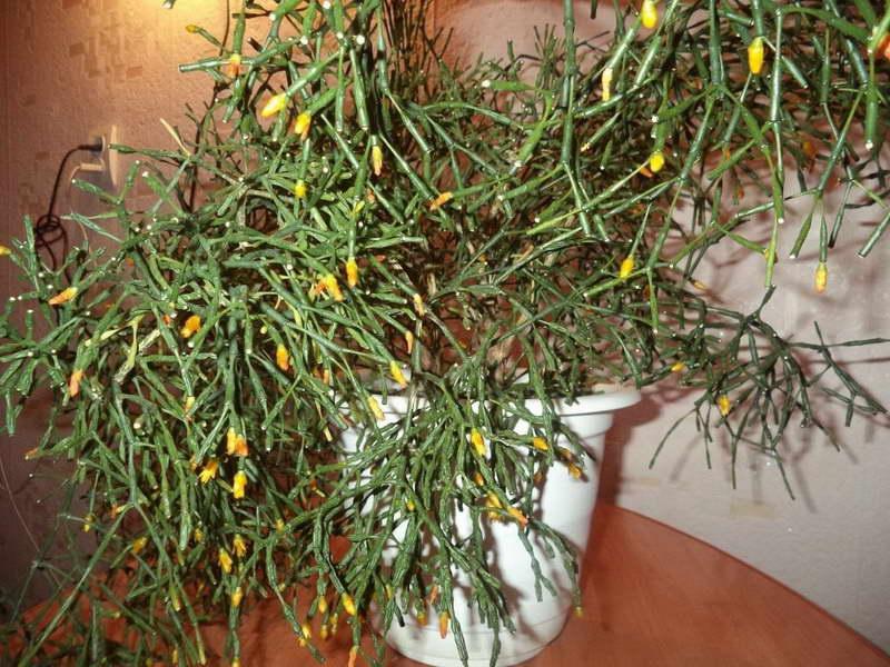Хатиора солеросовидная кактус танцующие кости фото цветения