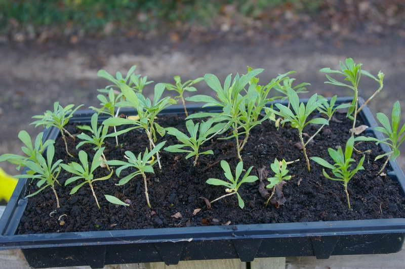 Хейрантус выращивание из семян фото рассады