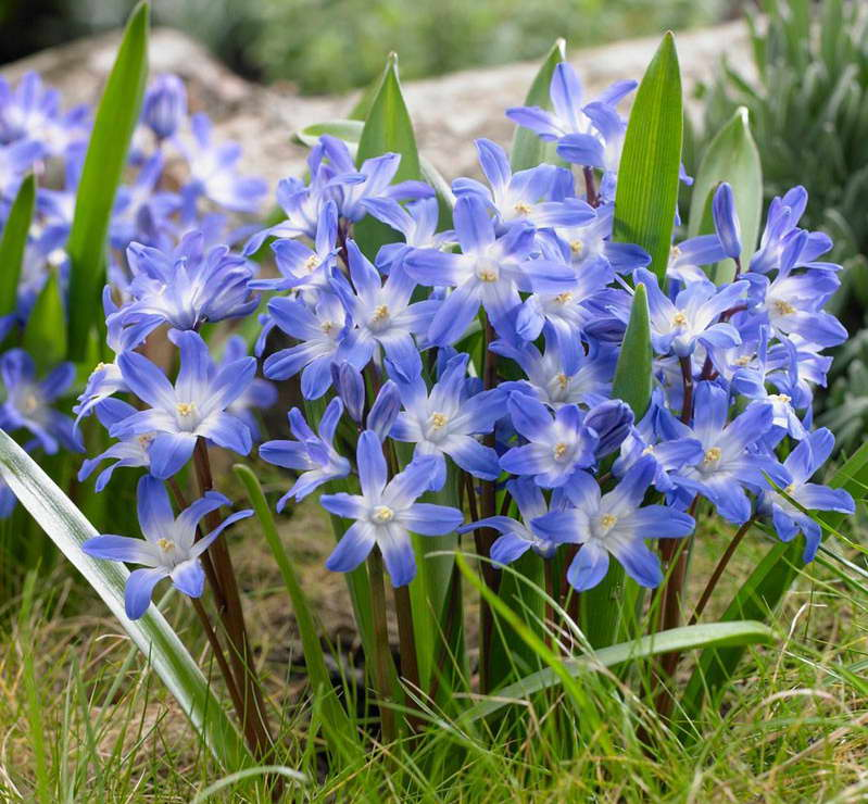 Хионодокса Форбса Chionodoxa forbesii 'Blue Giant' фото