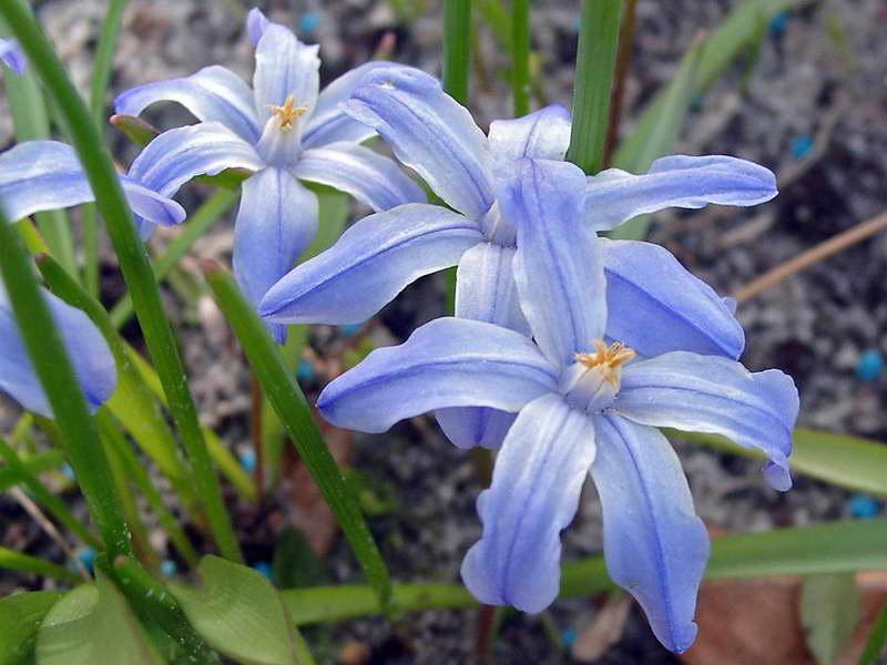 Хионодокса госпожи Лок (леди Лох) Chionodoxa lochiae фото