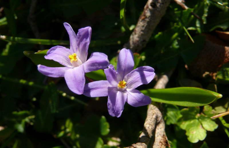 Хионодокса карликовая Chionodoxa nana фото