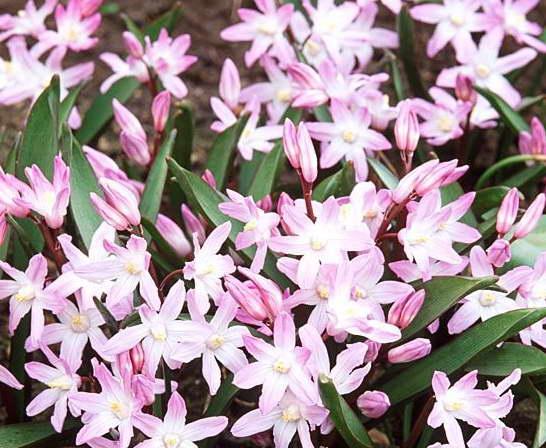 Хионодокса розеа Chionodoxa Forbesii Rosea фото
