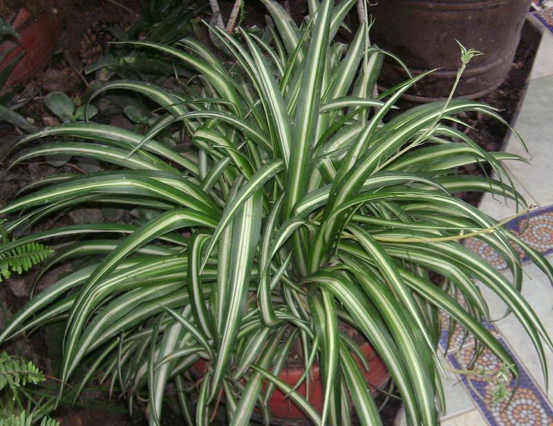 Хлорофитум хохлатый Chlorophytum comosum вариегата фото
