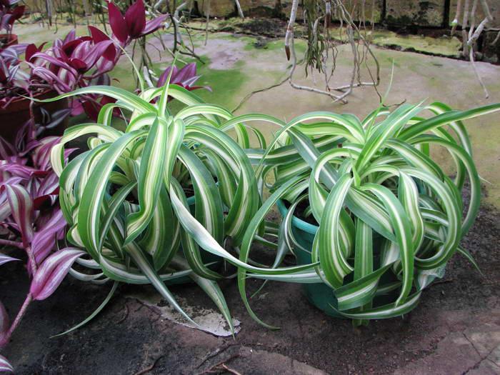 Хлорофитум кудрявый Бонни Chlorophytum comosum 'Bonnie' фото