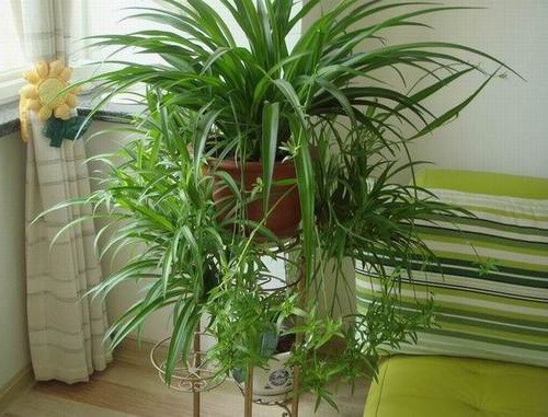 Хлорофитум зеленый хохлатый уход в домашних условиях фото