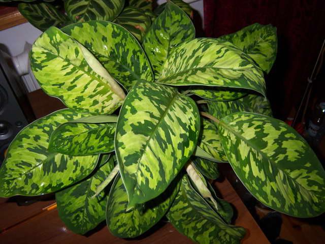 Хомаломена камуфляж Homalomena wallisii 'Camouflage' фото