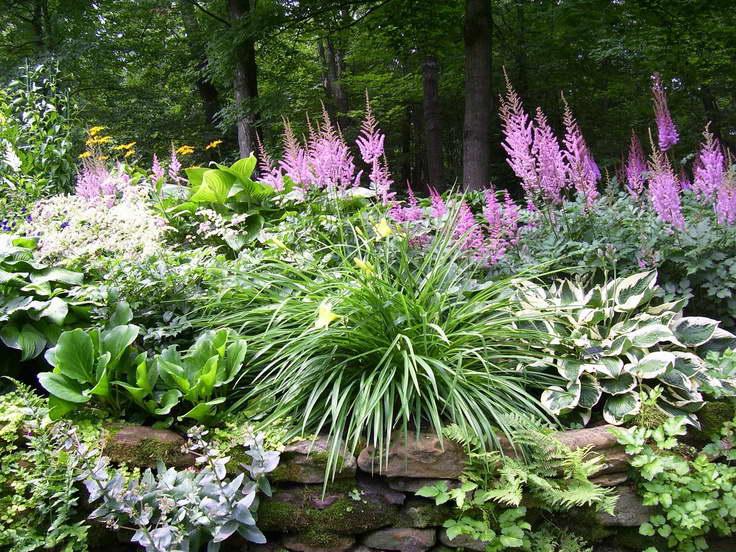 Хоста цветы фото в саду Сочетание с астильбой