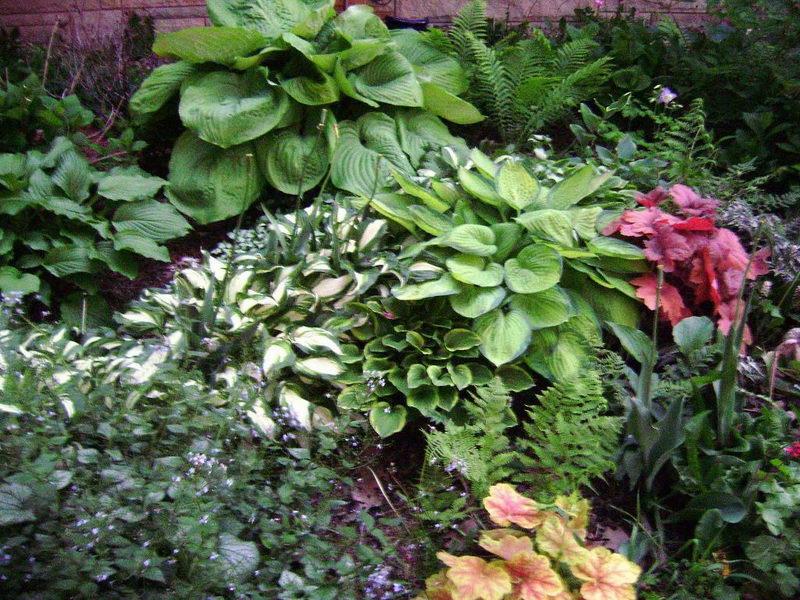 Хосты в дизайне сада с какими цветами сочетать Хосты мукдения карасуба папоротник живучка аюга