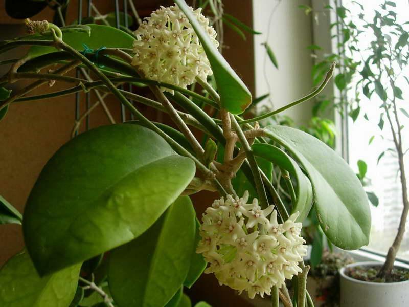 Хойя австралийская или южная Hoya australis фото