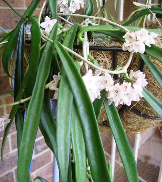 Хойя длиннолистная Hoya longifolia фото
