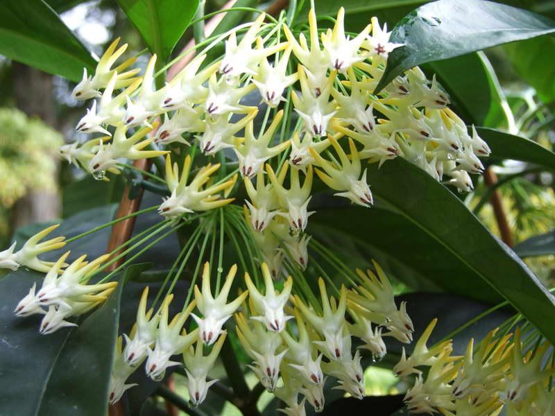 Хойя многоцветковая Hoya multiflora фото