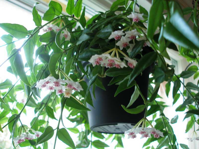 Хойя прекрасная Hoya bella фото
