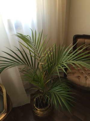 Хризалидокарпус сохнут листья что делать
