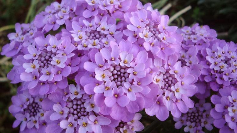 Иберис посадка и уход в открытом грунте фото цветов