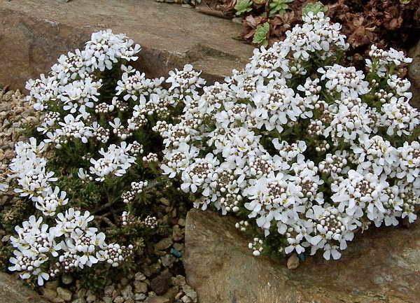 Иберис скалистый сорт Iberis saxatilis Felsen-Schleifenblume фото