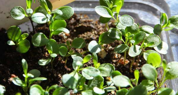 Иберис выращивание из семян фото всходов