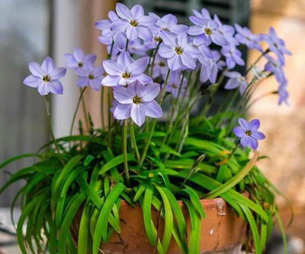 Ифейон в домашних условиях выращивание и уход