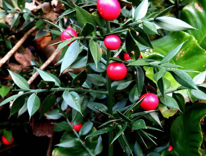 Wholesale Ruscus amp Wedding Flower Guides UK  Triangle Nursery