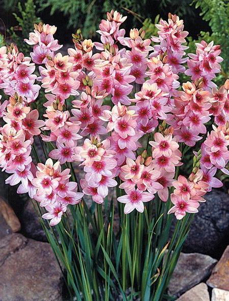 Иксия Розовая Ixia Pink