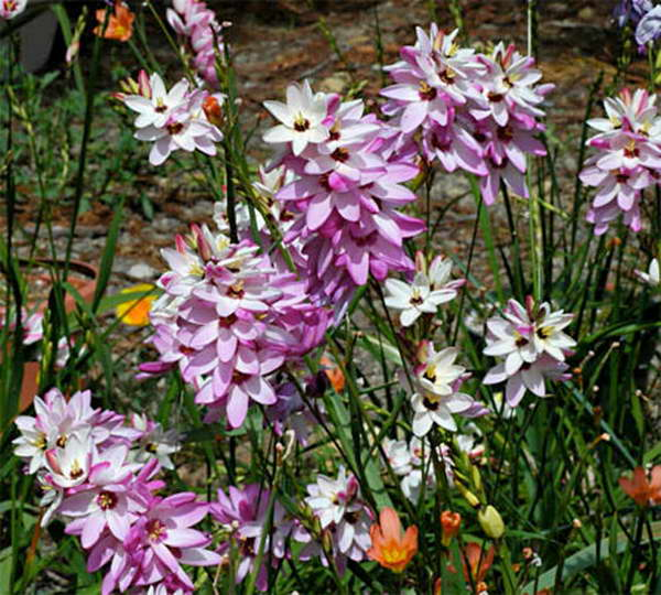 Иксия гибридная Ixia hybrida фото в саду