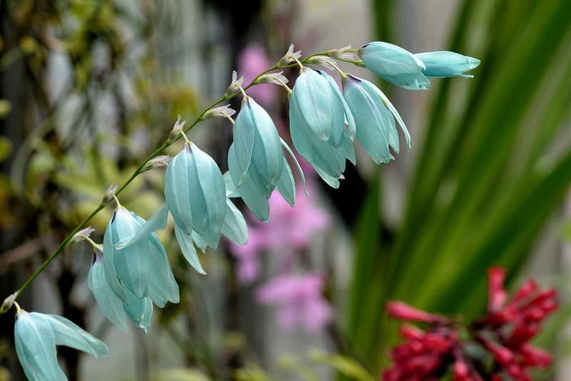 Иксия голубая виридифлора Ixia viridiflora фото