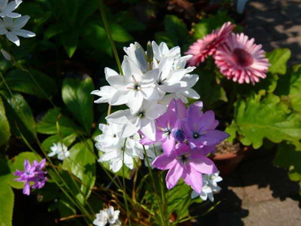 Иксия монаделфа в саду фото