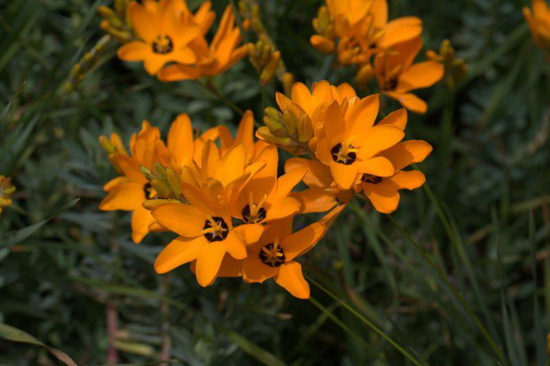 Иксия пятнистая Ixia maculata
