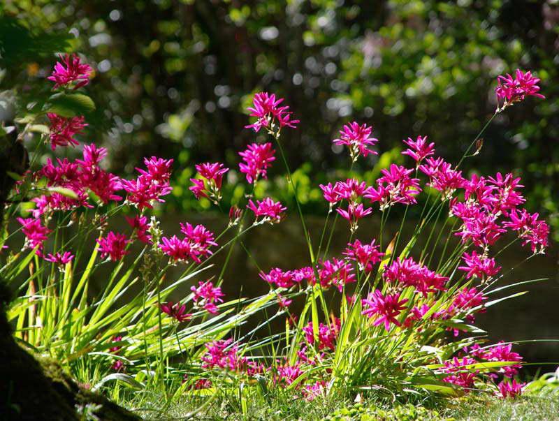 Иксия в саду фото