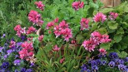 Иксия выращивание и уход в саду Фото цветов