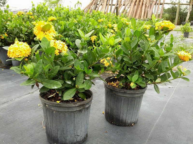 Иксора желтая Ixora coccinea 'Maui Yellow' фото