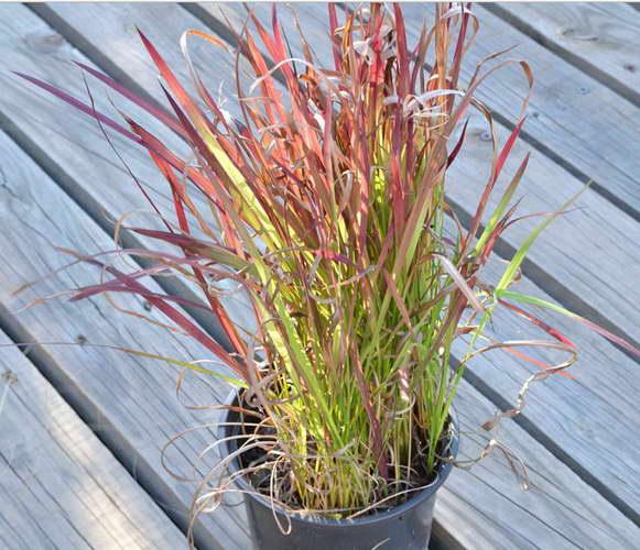 Императа цилиндрическая из семян фото рассады