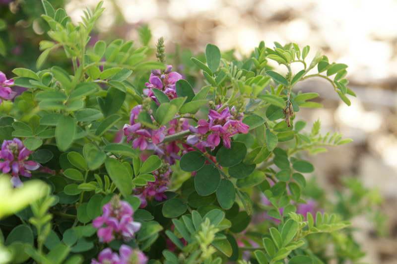 Индигофера ложнокрасильная Indigofera Pseudotinctoria 'Rose Carpet' фото