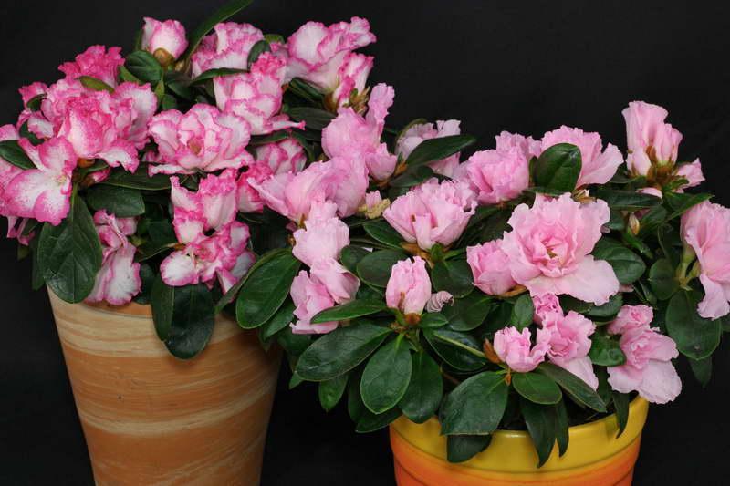 Индийская азалия или азалия рододендрон Симса Rhododendron simsii фото