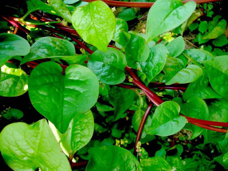 Индийский шпинат базелла рубра фото