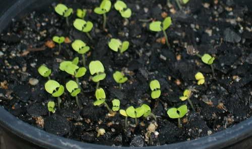 Инкарвиллея из семян выращивание рассады в домашних условиях Фото всходов