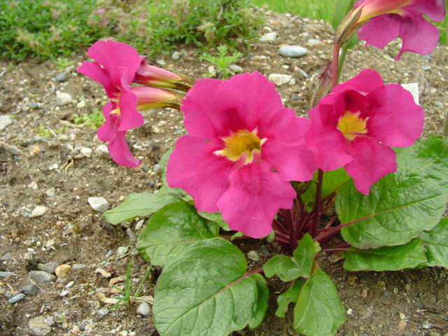 Инкарвиллея крупноцветковая Incarvillea grandiflora фото