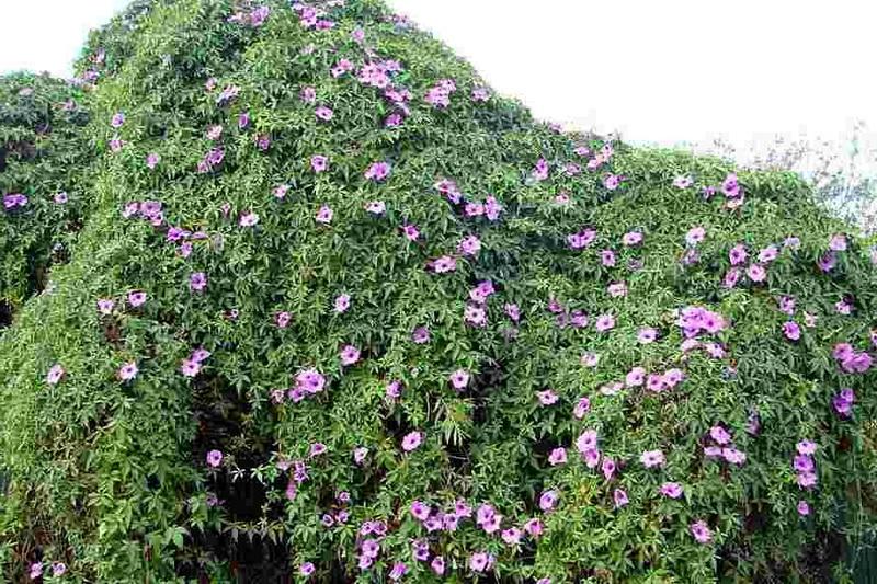 Ипомея каирская Ipomoea cairica