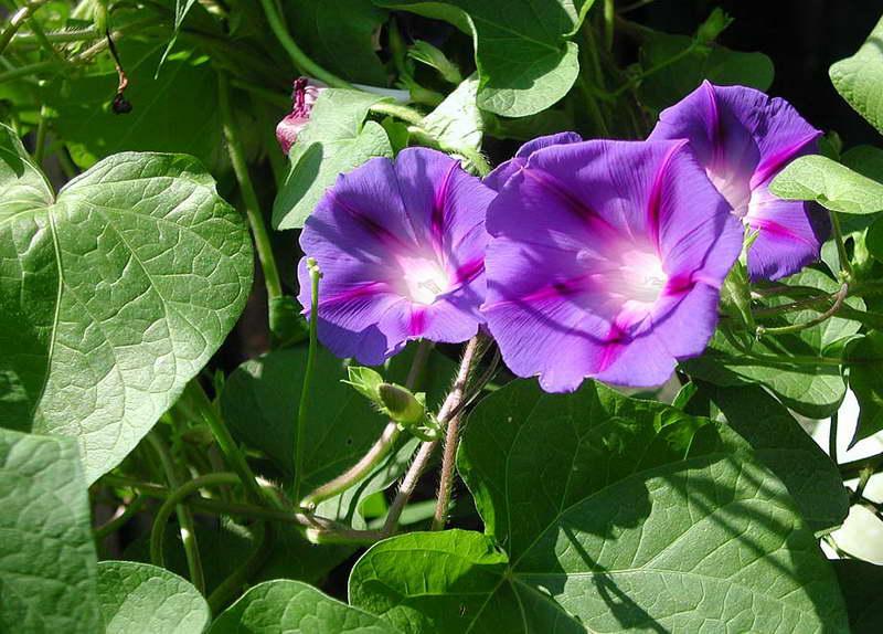 Ипомея пурпурная Ipomoea purpurea фото