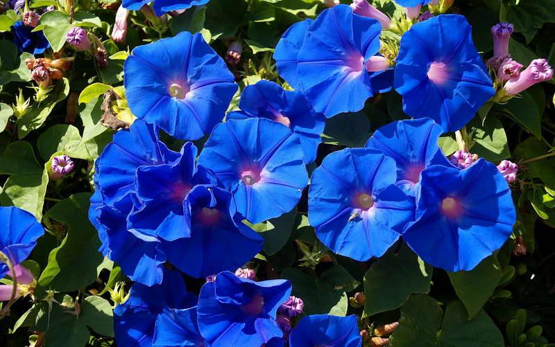 Ипомея трехцветная Ipomoea tricolor фото