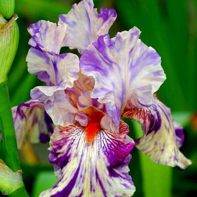 Ирис бородатый сорт Iris germanica Peach Jam фото