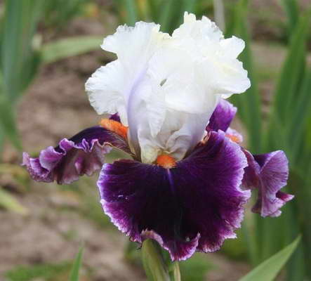 Ирис бородатый сорт Iris germanica 'Regal Knave' фото