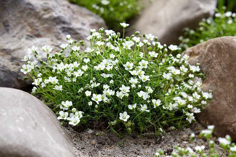 Ирландский мох в ландшафтном дизайне фото